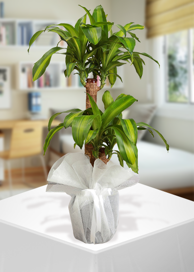 2′li Massengena Saksı Çiçeği-61 Gaziantep Çiçekciler